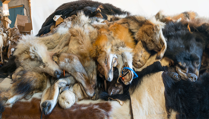 Stacked skins: bear, fox, wolves, coyote photo by Alan Powell 2017